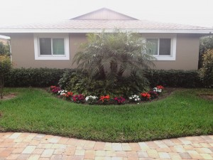 New Guinea Impatiens planted around pygmy date palm.