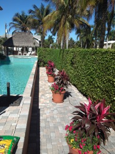 A condo pool area with some potted red ti I planted with drip irrigation.