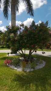Jatropha tree as a focal point in the center of the circle driveway.
