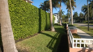 Ficus hedge thriving in downtown Naples, FL